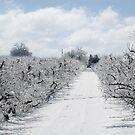 Apple Trees by BigRPhoto