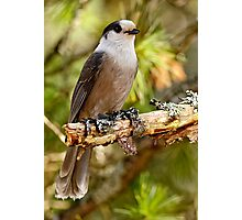 Gray Jay -  Algonquin Park, Ontario - 3 Photographic Print