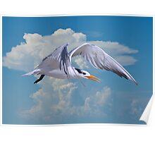Royal Tern in Flight Poster