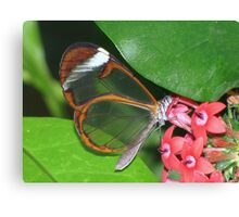 Glasswing 01 Canvas Print