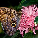 Owl Butterfly - Carleton University - Ottawa, Ontario by Michael Cummings