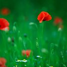 Poppies   by EUNAN SWEENEY