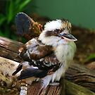 Laughing Kookaburra by Alicia  Liliana