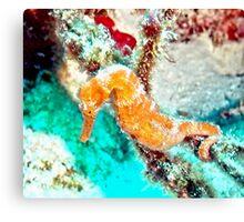 Orange Caribbean Sea Horse Canvas Print