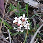 Native splitleaf dwarf boronia by Jane Bouchard