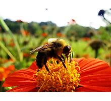 Bee and Flower- Longfellow Garden, Minnesota Photographic Print