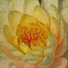 Water Lily-Como Conservatory, St.Paul, Minnesota by shutterbug2010