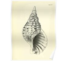 Manual of the New Zealand Mollusca by Henry Sutter 1915 0177 Septa tritonia Poster