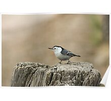 Nuthatch 1 Poster