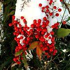 Holly Berries | Nature by laurenmarie