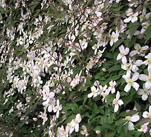 Wall of Pink - Clematis Blossoms in May by BlueMoonRose