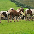 Piebald  Horses.Donegal .Ireland by EUNAN SWEENEY
