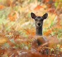 Silka Deer Arne RSPB site by John Habbishow
