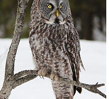 Great Grey Owl portrait by hummingbirds