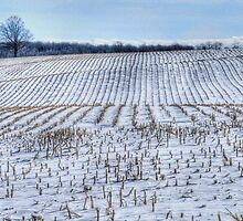 Corn Rows by Marilyn Cornwell