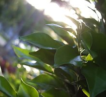Hedge on Gordonia by Calebdrums