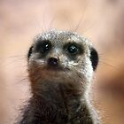Bright eyes, meerkat. by kkimi88