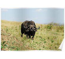 Cape Buffalo in the Mara Poster