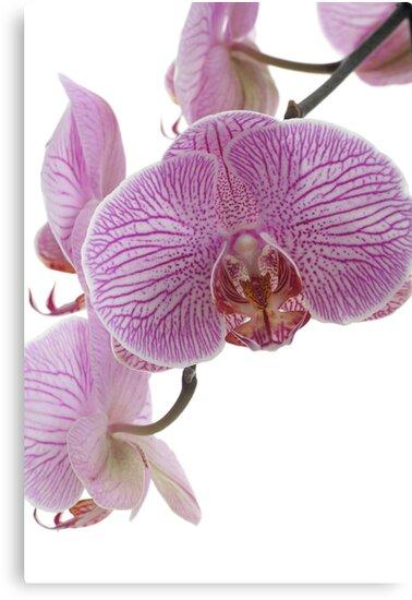 Orchids by OldaSimek