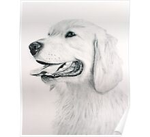 Golden Retreiver Poster