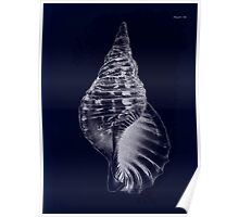 Manual of the New Zealand Mollusca by Henry Sutter 1915 0177 Septa tritonia Inverted Poster