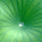 Droplet of Water in Center of Water Lily by bmwlego
