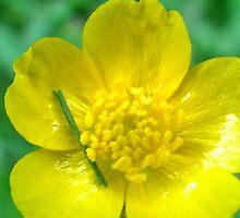 Buttercup by azphotographydd