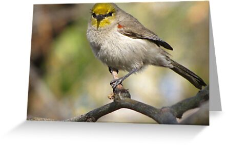 Verdin ~ Adult II by Kimberly Chadwick