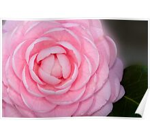 Pink Perfection Camellia Poster