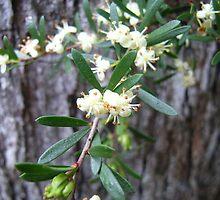 River tridentbush, Westbury Forest Reserve, Tasmania by Jane Bouchard