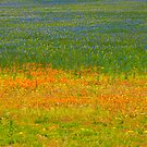Fields of colour. Kamieskroon, Namaqualand, South Africa by Fineli