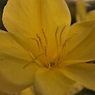 Oenothera biennis (Evening Primrose) by Julie Sherlock