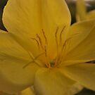 Oenothera biennis (Evening Primrose) by Julie Sherlock