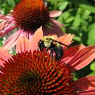 Coneflowers and Bee by shutterbug2010