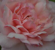 """Rosa """"Gruss an Aachen"""" by Julie Sherlock"""