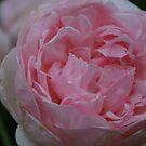 """Rosa """"Heritage"""" by Julie Sherlock"""
