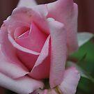 """Rosa """"Heaven Scent"""" by Julie Sherlock"""