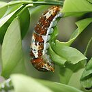 Caterpillar Eating by S S