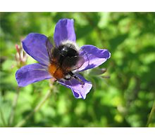 Bumble Bee And The Purple Flower Photographic Print