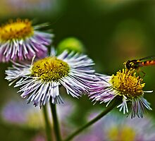 Daisies and dragonfly by cherylc1