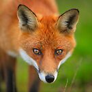 Wary  Red  Fox by EUNAN SWEENEY