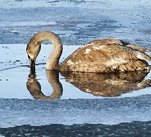Cygnet in the Ice by Kim  Ayres
