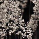 Summer Sepia by sparkiesprite
