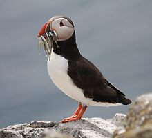 puffin by sparkieroy