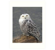 Owl on the Rocks - Snowy Owl Art Print