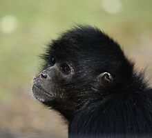 Spider Monkey by Franco De Luca Calce