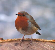 Robin at Bolton Strid by Kat Simmons