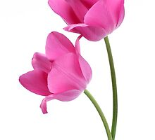 two pink tulips by OldaSimek