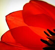 Tulip by Matthew Pugh