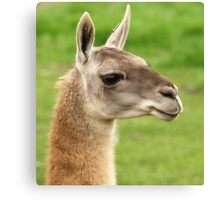 Young Guanaco Canvas Print
